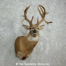 whitetail deer shoulder taxidermy head