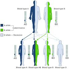 Blood Type Genetics Chart Blood Type Heredity Biology Dictionary