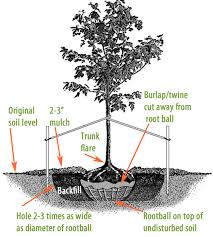 How To Plant A Tree Or Shrub Tree Planting Bushes