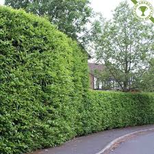 Great range of Cherry Laurel Hedge plants, take advantage of Discounts with  prices as low as Free speedy delivery on over of orders