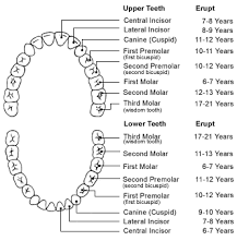 Tooth Anatomy Teeth Chart Cosmetic Dentistry Guide