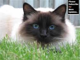 Small Picture Birman Cat Pictures YouTube
