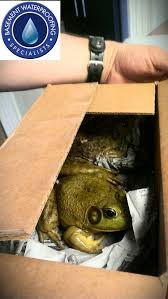 gary the frogs new friends shipped in from california these frogs are huge basement waterproofing specialists collegeville pa pa basement waterproofing f23