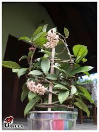 Poderá ser embalado para presente a pedido do cliente. Ursula Gartencenter Produtos Flor Em Vaso Flor De Cera Flor De Cera