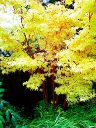 Small Picture small landscape trees in your garden with coral bark maple