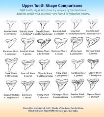 Shark Tooth Size Chart 75 Exhaustive Shark Tooth Identification