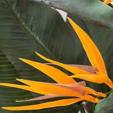 Strelitzie Afrikas Paradiesvogel Blumen Steckbrief