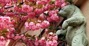 Картинки по запросу закарпатье на цветение магнолий и сакур