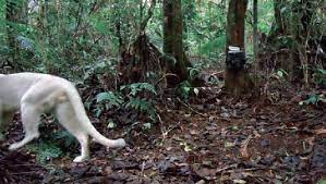 """Catameep Snow Panther on Twitter: """"The scientific paper about the leucistic puma photographed in 2013 in Brazil is now available to all for free online, including 3 never-before-seen pictures https://t.co/YPts9I0K1T… https://t.co/rfD3sWlWb0"""""""