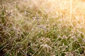 dry grass field background. Stock Photo - Yellow Dry Grass Field. Golden Summer Background. Field Background