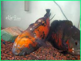 Kenapa Ikan Oscar Tidak Mau Makan