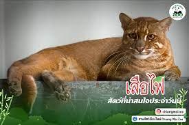 เสือไฟ... - สวนสัตว์เชียงใหม่ Chiang Mai Zoo