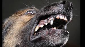 military german shepherd titanium teeth.  German Dogs With Titanium Teeth To Military German Shepherd Titanium Teeth YouTube