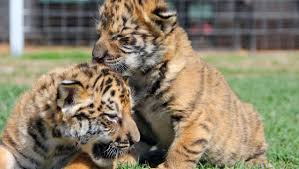 cute baby liger. Exellent Liger For Cute Baby Liger E