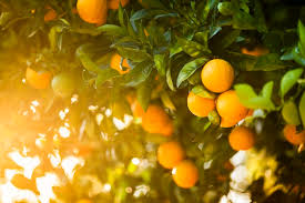 Image result for oranges