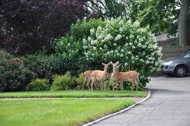 best deer repellents to keep deer out