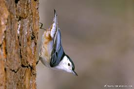 s beginning with n nuthatch