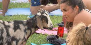 virginia tech lawn for goat yoga
