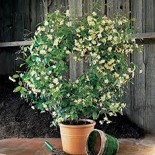 asian jasmine mandanianum tracheloum asiati