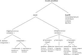 Bacteria Classification Gram Positive Bacteria Wikipedia