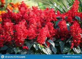 Salvia Lemon Light Plant Variety Salvia Divinorum Bright Red Flowers In Full