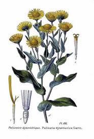 Pulicaria dysenterica Fleabane, Meadow false fleabane PFAF Plant ...