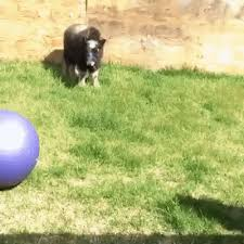 The best gifs of ox on the gifer website. A Baby Musk Ox And His Ball Gifs