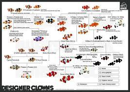 Designer Clownfish Infographic Saltwater Fish Tanks Reef