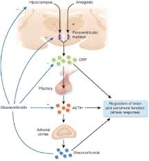 Hpa Axis Human Studies On Hypothalamo Pituitary Adrenal Hpa Axis