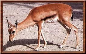 """Résultat de recherche d'images pour """"image de gazelle"""""""