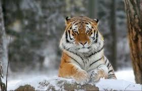 Амурский тигр доклад класс ДоклаДики 3 класс