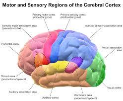brain motor sensory of the cerebral cortex