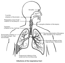 the lungs and respiratory system  chest lung information   patientinfections of the respiratory tract