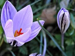 Crocus corsicus - Wikipedia