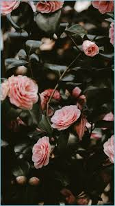 Pink Rose Aesthetic #wallpaper #iphone ...