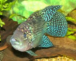 Cichlids Fish Guides For African South American Dwarf