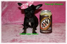 Teacup Chiwawas Puppies Google Search Tea Chihuahuas