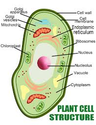 anatomy of the plant cell vs a human cell interactive biology  types of plant cells
