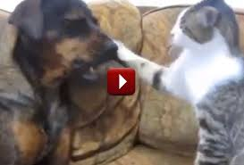 cats and dogs play fighting. Another Picture Of Are My Cats Fighting Or Playing To And Dogs Play