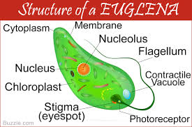 What Detects Light In The Euglena A Brief Understanding Of Euglena Movement Biology Wise