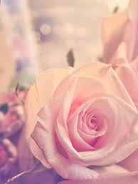 cute rose wallpaper wallpaper marieghansen