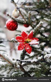 Blume Des Roten Weihnachtsstern Hängen An Den Zweig Der