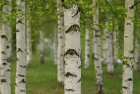 ... Multi-Trunk Birch Trees. The Betula genus consists of about 60  different species.