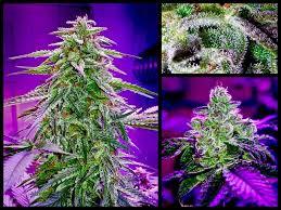 Es Produziert Substanzen Und Kombinationen Von Substanzen, Die Keine Andere  Pflanze Produziert, Insbesondere Die Cannabinoide ...