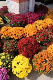 one of the workhorses of the fl world is the common chrysanthemum they are prolific bloomers come in amazing hues last long and are very low