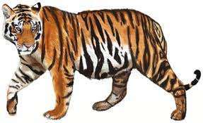 color tiger drawing. Simple Tiger How To Draw A Tiger Step By And Color Tiger Drawing D