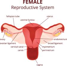 Female Organ Chart Female Reproduction Nevada Center For Reproductive Medicine