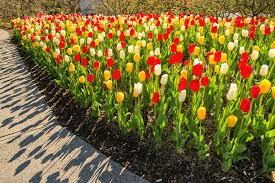 bed of tulips at deep cut gardens middletown new jersey