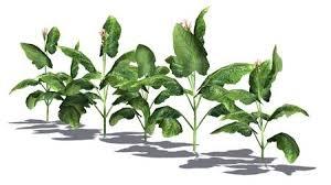 tobacco plant clipart. Unique Tobacco Stock Photo  Tobacco Plants On White Background To Tobacco Plant Clipart N
