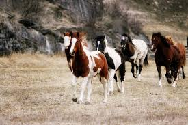 horses galloping in a field. Interesting Galloping Horses Galloping In A Field For Dissolve
